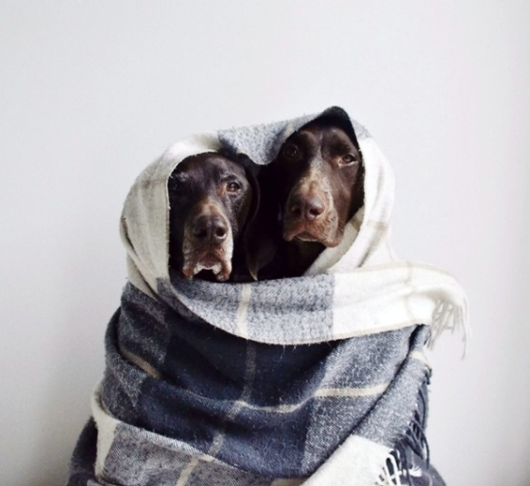 Travis and Gus - two German shorthaired pointers - are the furry duo in this shoot by Canadian photographer Steph McCombie (1)